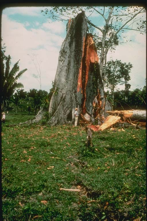 Tree bisected by fault in Guatemala