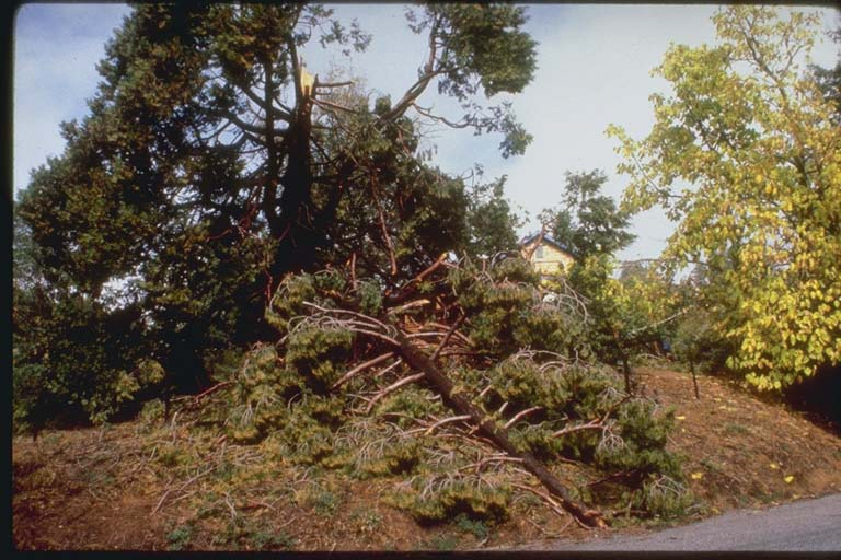 Tree Snapped Off by the Earthquake, Santa Cruz Mountains