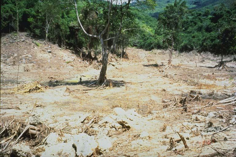 Tree remains after tsunami, Riangkroko, Indonesia